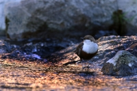 Wasseramsel | Dreisam